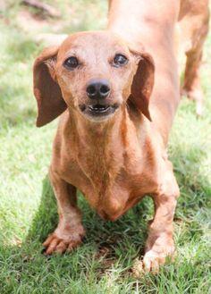 Dachshund dog for Adoption in Austin, TX. ADN-669544 on PuppyFinder.com Gender: Female. Age: Adult