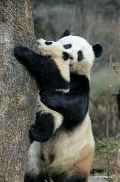 Mother panda gives her fluffy cub a helping paw as it tries to climb a tree. Animals And Pets, Baby Animals, Cute Animals, Water Deer, Cuddle Love, Mundo Animal, Funny Animal Pictures, Yorkie, Pet Birds