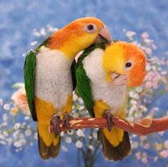 White-Bellied Caique - these are so sweet