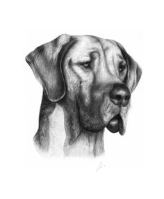 drawing GREAT DANES | Great Dane