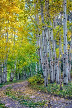I've been in the aspen trees like this while riding, its exhilarating. Aspens in Autumn, Elk Mountain Ranch, Colorado by Donald j Shulte Beautiful World, Beautiful Places, Beautiful Pictures, Aspen Trees, Birch Trees, Pikes Peak, Rocky Mountains, Colorado Mountains, Pathways