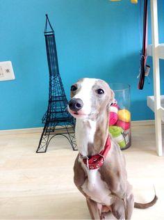 Italian grayhound