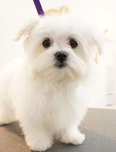 Peggy - Maltese Terrier Puppy