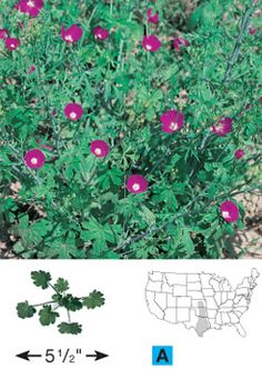 Texas native plant: Tall poppy mallow or standing winecup - annual that can be ordered from Wildseed Farms. I now have my seeds so I can plant them in my yard. Small Yard Landscaping, Landscaping Plants, Landscaping Ideas, Growing Flowers, Planting Flowers, Texas Plants, Hummingbird Garden, Fall Plants, Shade Plants