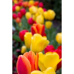 Flower Photography, Field of Tulips, Bright Yellow, Red and Orange,... ($25) ❤ liked on Polyvore featuring home, home decor, wall art, orange home accessories, photo wall art, photography wall art, flower stem and red flower wall art