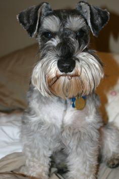 Cutie pie Yoshi. Miniature Schnauzer granddog.