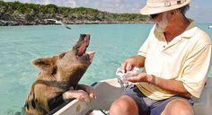 Свиньи на Багамах могли отравиться пивом и ромом