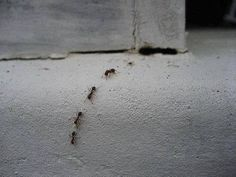 10 Ways to Get Rid of Ants...Organically