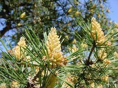 Pine, o floral que ajuda nos nossos sentimentos de culpa.