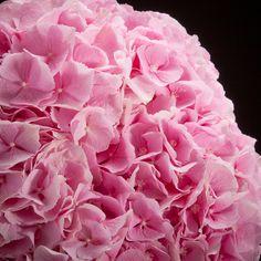 Certi Hydrangea Verena Rosa, roza, roze snij hortensia, boeket, bloemen, Certi #Bloemen, #Planten, #webshop, #online bestellen, #rozen, #kamerplanten, #tuinplanten, #bloeiende planten, #snijbloemen, #boeketten, #verzorgingsproducten, #orchideeën