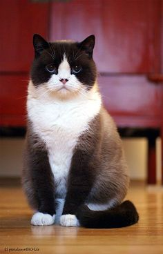 """[British Shorthair] ------------------------- * * """" Me keeps tellin' em dat me haz to be crossed wif some kinda Asian breed. Whys would me haz dis colorin' of me fur and baby blues fer eyes?"""""""