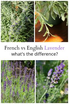 French lavender vs English lavender. Learn a little about the differences between them, a few favorite varieties and the best regions to grow.