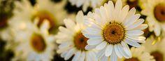 Download de capas para Facebook com flores: Margaridas