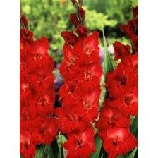 #Flower Seeds Online #India, Flower #Seeds, #Buy Flower Seeds Online, #Order flower Seeds #Online, Flower Seeds Online #Purchase India, #Kraft Recommendations http://kraftseeds.com/flower-bulbs/kraft-recommended-flower-bulbs
