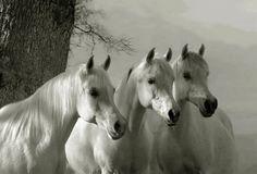 Beautiful white horses!, Portrait de chevaux de race Arabe