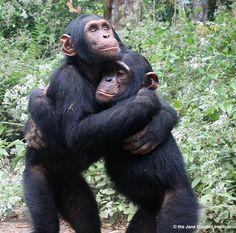 Kudia and Ultimo hug each other.   At Tchimpounga sanctuary.    Size_550x415_ap0300-61lr_wm