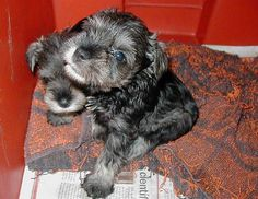 "schnauzer mini ""garras"" by minigarras, via Flickr"