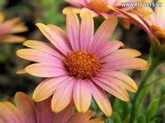 tweet pink african daisy orange african daisy yellow african daisy