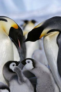 雪の中ではしゃぐ赤ちゃんペンギンはどこか楽しそう。 仲良く散歩する様子を、見ているだけで和みます。 %Slideshow-769022% 【関連記事】 Cute Baby Penguin, Penguin Love, Baby Penguins, March Of The Penguins, Baby Animals, Cute Animals, Emperor Penguins, Spirit Animal, Reptiles