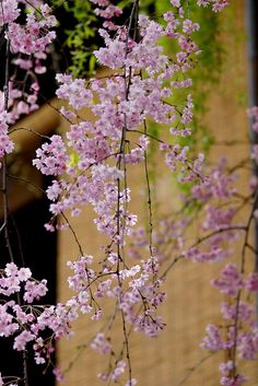 祇園白川の桜 by nobuflickr on Flickr.