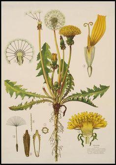 Homemade Medicinal Dandelion Tincture