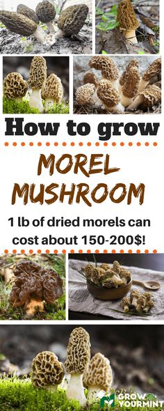 me to show you how to grow morel mushrooms since the procedure is not complicated or confusing.Allow me to show you how to grow morel mushrooms since the procedure is not complicated or confusing. Indoor Vegetable Gardening, Home Vegetable Garden, Container Gardening, Organic Gardening, Gardening Tips, Gardening Services, Desert Gardening, Gardening Supplies, Organic Farming