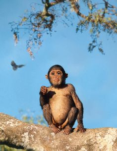 Australopithecus africanus - Taung Child reconstruction by Viktor Deak
