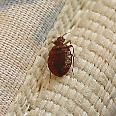 These things are why hotel rooms freak me out. Pinning just in case we ever need it. Gross! Home Remedies For Bed Bugs.