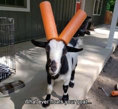 We made our pygmy goat Nic Cage kid friendly this weekend x-post /r/pics Funny Animal Memes, Dog Memes, Funny Animal Pictures, Funny Animals, Cute Animals, Funny Memes, Happy Animals, Memes Humor, Wild Animals