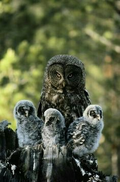"Mother Gray Owl and Her Babies.  ""Mothers and Babies"""