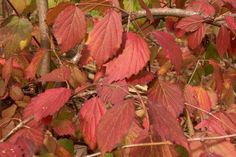 Arrowwood viburnum shrubs grow in wetlands. This makes the bushes suitable for wet areas in the yard as well as good choices for fall foliage color.