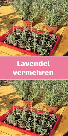 Gartenpflege The medicinal plant can be used for many purposes. The propagation is easy. We explain Real Plants, Types Of Plants, Growing Plants, Gardening For Beginners, Gardening Tips, Amazing Gardens, Beautiful Gardens, Indoor Garden, Outdoor Gardens