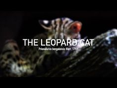 The ancestry of the Bengal cat derives from a spotted domestic cat and a small wild spotted feline called the Asian leopard cat (ALC) or Felis bengalensis. Asian Leopard Cat, Bengal Cats, Cattery, Domestic Cat, Cat Gif, Cat Breeds, Big Cats, Ancestry, Cat Lovers