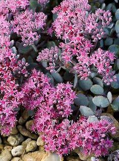 Sammalleimu Scarlet Flame - Viherpeukalot.fi Annual Plants, Scarlet, Perennials, Spring, Garden, Flowers, Garten, Lawn And Garden, Gardens