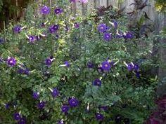 Thunbergia erecta - Tumbérgia - ótima para ambiente de sombra ou meia sombra, podendo alcançar até 2,5m de altura. Produz numerosas flores de coloração azul com o centro amarelo, durante todo ano, mas principalmente na primavera e verão. A floração perfumada atrai beija-flores, mamangavas e borboletas. Devem ser cultivadas a pleno sol ou meia sombra.