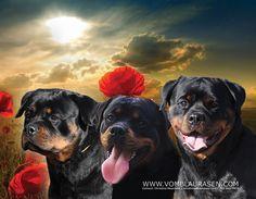 vom Blaurasen Rottweilers Christina Meacham info@vomblaurasen.com 202-841-7878
