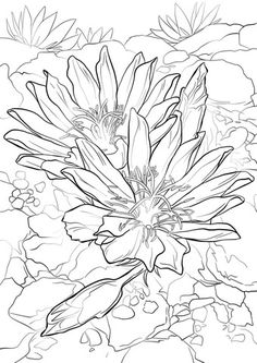 Bitterroot Coloring page