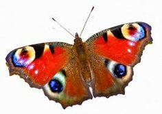 die 83 besten bilder von pfauenauge butterfly kisses. Black Bedroom Furniture Sets. Home Design Ideas