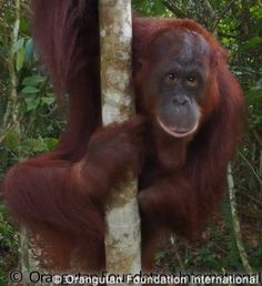 ESRI, ORANGUTAN OF THE MONTH : Not everyone is born into an easy life, and ESRI has faced many challenges. Eyes cloudy with cataracts and a left arm severed at the elbow, ESRI's disabilities left her afraid and distrustful of humans. Read to learn how a much happier ESRI has since come a long way in her rehabilitation and relationships : https://orangutan.org/orangutan-of-the-month-getting-to-know-esri/