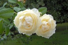 Windermere roses