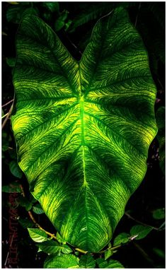 Amazon elephant Ear: Huge, arrow-shaped leaves, ridged edges and bright white veins give the elephant ear an air of the spectacular. Description from pinterest.com. I searched for this on bing.com/images