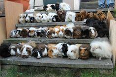a lot of guinea pig
