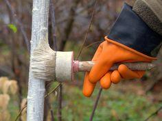 Осенняя побелка фруктовых деревьев