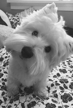 """Click visit site and Check out Best """"Westie"""" Shirts. This website is excellent. Tip: You can search """"your name"""" or """"your favorite shirts"""" at search bar on the top."""