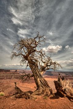 ✮ Twisted - Dead Horse Point - Moab, UT, Love it here! Weird Trees, Twisted Tree, Unique Trees, Tree Art, Tree Of Life, Amazing Nature, Landscape Art, Beautiful Landscapes, Beautiful World