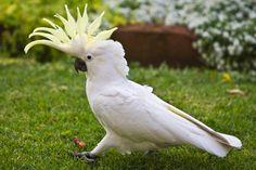 Sulphur Crested Cockatoo 158 by chezem on DeviantArt Cockatiel, Budgies, Parrots, Funny Birds, Cute Birds, Birds 2, Tropical Colors, Tropical Birds, Baby Animals