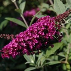 Buddleia Buzz Velvet - This new compact form is still equally loved by bees and butterflies, but won't take over your garden.  Easy to grow and problem-free with a super long flowering period. Perfectly proportioned for patio pots and smaller gardens. Z5-9