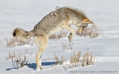 Coyote pouncing by Charles Glatzer - Photo 4863942 - 500px