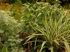 Dianella, Artemisia 'Powis Castle' and Dicliptera Suberecta for a part shade garden.