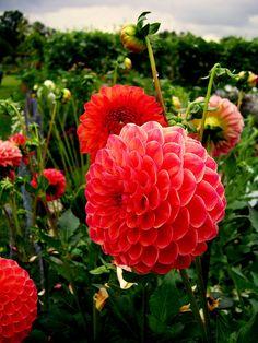 ~~dahlia garden~~